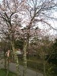 山中湖桜.JPG